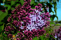 Time for Lilacs (hpaich) Tags: life desktop wallpaper plant flower color nature floral garden season spring flora purple blossom background lavender petal lilac bloom desktopwallpaper desktopbackground