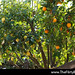 Sony-NEX-5R-Unedited408-San-Jose-backyard-citrus