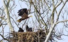 _MG_4223 Bald Eagles (terrence.peck) Tags: canon nest wildlife eagles imm