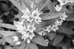 flower (Sara Skui Saatvedt) Tags: summer blackandwhite bw white black flower macro up closeup canon eos close 1100d