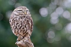 _F1_0439 (www.fozzyimages.co.uk) Tags: wildlife newforest birdsofprey rspb captivelightukcom