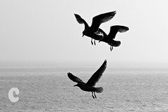 The local residents (Cirrusgazer) Tags: blackandwhite bw seagulls silhouette three flying trio seasky