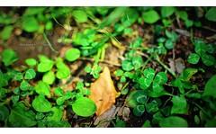 四つ葉のクローバー 画像35