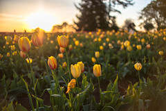 Eternal Sunshine (Shadman Samin) Tags: sunset usa oregon 35mm portland photography golden nikon view tulips like follow hour views tulip pdx f18 pnw followers bangladeshi 2016 d610 instagram