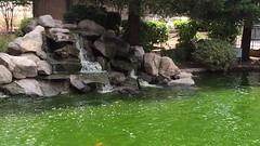Black Swans (AuntNett) Tags: california ca nature swan pond swans selma blackswan spikeandrail