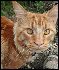 Cat (Marty_0722) Tags: life red orange nature animal cat nose eyes tabby maine natura occhi coon mainecoon rosso gatto animale vita naso baffi razza