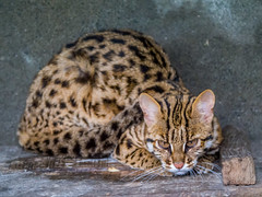Leopard Cat (Mike Prince) Tags: cats felines captive mammals mammalia leopardcat prionailurusbengalensis roingminizoo