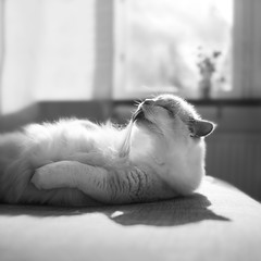 Tanning (*hassedanne*) Tags: cat happy tan indoor pale tanning ragdoll