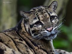 Nebelparder (wernerlohmanns) Tags: natur raubtiere nebelparder groskatzen