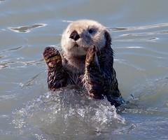 Sea Otter (Enhydra lutris) (mosesharold) Tags: seward27may16123445905dii1 otters seaotters alaska seward resurrectionbay