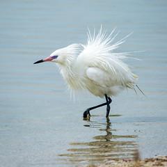 Reddish egret (white morph) (billd_48) Tags: winter nature birds fl egret whitemorph wadingbirds reddishegret