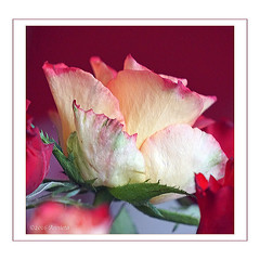 Voor alle moeders ..... Fijne Moederdag! ( Annieta ) Tags: flower netherlands fleur rose spring flora sony ngc nederland roos mei lente mothersday allrightsreserved bloem 2016 krimpenerwaard moederdag annieta a6000 usingthispicturewithoutpermissionisillegal