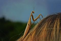 mantis (rebekarisko) Tags: nature bug mantis