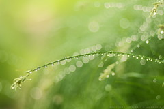 Morgentau im Gras (wimmerralf) Tags: nature water backlight 50mm wasser dof bokeh drop droplet gras tau tropfen gegenlicht schrfentiefe offenblende zerstreuungskreise summicronr2050mm