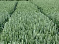 corn rows (markus_rgb) Tags: green field corn tracks feld spuren rows grn getreide reihen