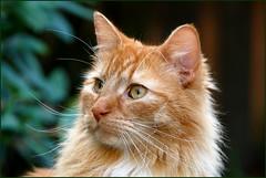 Billy ... (Jan Gee) Tags: portrait orange tom cat ginger kat chat gato gata billy katze gatto kater kot rode