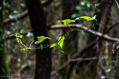_DSC3846 (allabar8769) Tags: hojas bosque cantabria santoa