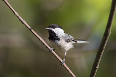 Black-capped Chickadee (J.B. Churchill) Tags: allegany bcch birds blackcappedchickadee chickadeestitmouse maryland places rockygapsp taxonomy flintstone unitedstates us