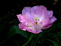 Pink (chrisheidenreich) Tags: pink plant flower rosa blume