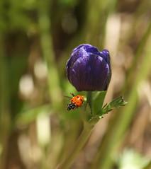 Convergent Lady Beetle (Kazooze) Tags: flower macro nature garden bokeh outdoor beetle depthoffield foliage anemone ladybeetle convergentladybeetle sigma105mmmacrolens