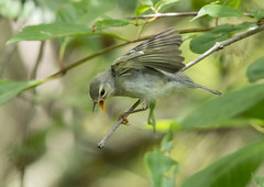Feed Me! (PeterBrannon) Tags: bird nature tampa florida wildlife migration calling fledgling northernparula hillsboroughcounty setophagaamericanam babyparula