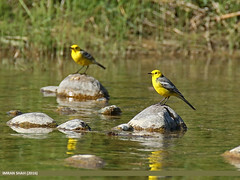 Citrine Wagtail (Motacilla citreola) (gilgit2) Tags: pakistan birds fauna canon geotagged wings wildlife feathers tags location species tamron category avifauna ghizer motacillacitreola gilgitbaltistan imranshah canoneos7dmarkii gahkuch citrinewagtailmotacillacitreola tamronsp150600mmf563divcusd gilgit2