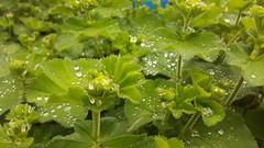Collecting (blondinrikard) Tags: droplets drops alchemilla ladysmantle daggkåpa dewcup