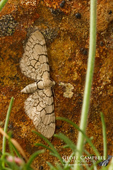 Netted Pug (Eupithecia venosata) (gcampbellphoto) Tags: macro nature insect wildlife moth northernireland countyantrim ballycastle rarity eupitheciavenosata nettedpug gcampbellphoto