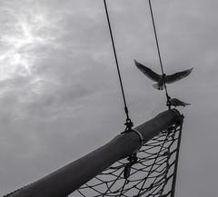 gulls on ship bow (Kerryjal) Tags: sea black birds ship gulls wells next bow headed