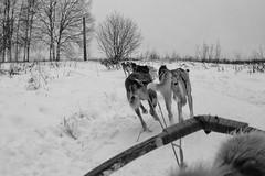 Husky Sledge (T. Tiederle) Tags: finland husky sledge