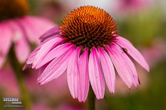 Gainesville Botanical Garden (The Suss-Man (Mike)) Tags: flowers flower nature georgia dof bokeh gainesville coneflower botanicalgarden hallcounty bokehlicious thesussman sonyslta77 sussmanimaging gainesvillebotanicalgarden atlantabotanicalgardeningainesville