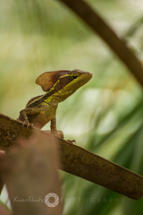 XSP_0359-Lizard Posing (XavierShots.com) Tags: naturaleza blur verde green nature field nikon dof bokeh background lizard tokina desenfoque depth blury lagartija 70300 camalen d7100