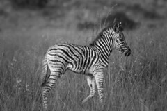 New arrival (Sheldrickfalls) Tags: southafrica zebra mpumalanga plainszebra burchellszebra lydenburg zebrafoal babyzebra kuduranch kuduprivatenaturereserve kudugameranch