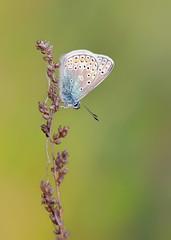 *** (Verlgof) Tags: summer macro butterfly plebejusargus
