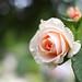 Rose, KIZUNA,バラ, 絆,