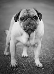 Waiting.For.Summer (67raku) Tags: old bw dog animal dark lumix pug hund sw mops gassi gx8