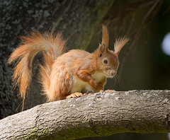 On the branch (hedera.baltica) Tags: squirrel redsquirrel wiewirka sciurusvulgaris eurasianredsquirrel wiewirkapospolita