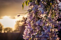 Wisteria (Benjamin Merceron) Tags: sunset summer sun flower nature outside 50mm spring nikon purple bokeh outdoor wisteria d5200