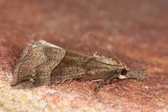 snout (1) (postcardcv) Tags: macro canon eos norfolk moths m3 snout 100l