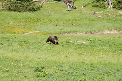 CT-YellowstoneTrip-67 (Cecilia T.) Tags: bear usa yellowstone grizzly wy
