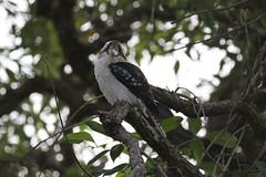 Laughing Kookaburra (Ne_Obliviscaris) Tags: birds laughing brisbane backyards kookaburra dacelo novaeguineae