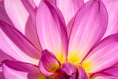 Pink Dahlia (Jacqueline C. Verdun) Tags: flower macro d810 dahlia pink yellow close petals nature verdun nikon