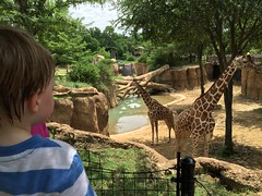 "Paul Watches Giraffes at Dallas Zoo • <a style=""font-size:0.8em;"" href=""http://www.flickr.com/photos/109120354@N07/27856283435/"" target=""_blank"">View on Flickr</a>"
