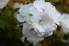 Beach Rose (Read2me) Tags: she cye capecod flower white ge thechallengefactory pregamewinner challengeclubwinner