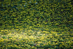 A carpet of yellow aconite (martinrstone) Tags: aconite