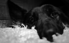 Ted (Jon Lelacheur Photography) Tags: dog pet animal jon shepherd domestic german gsd lelacheur
