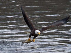 Gone Fishin - Bald Eagle (Le Claire, IA) (w4nd3rl0st (InspiredinDesMoines)) Tags: winter wild food brown white fish detail bird nature water canon river mississippi landscape flying amazing fishing close natural eagle screensaver fierce outdoor wildlife hunting flight baldeagle diving iowa talon raptor restore 7d mississippiriver hunter prey migration capture population graceful powerful intensity quadcities spectacle baldeagles computerdesktop 2011 swooping catchingfish 100400 perfectlight leclaire 1585 eaglefestival eaglewatching baldeaglefishing baldeagleflying lockanddam14 ld14 eaglewallpaper
