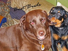 momo22 (JVierno77) Tags: two dog cute puppy labrador rottweiler buddy chew statenisland