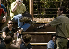 Barking Owl (proper dave) Tags: bird birds zoo flight free healesvillesanctuary owl barkingowl ninoxconnivens