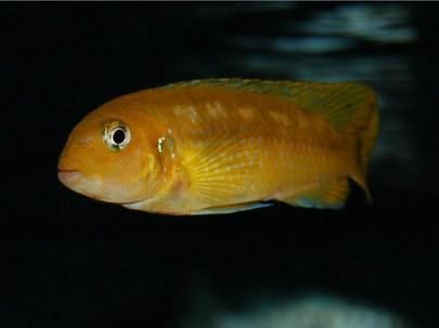 Pseudotropheus interruptus Chizumulu Island